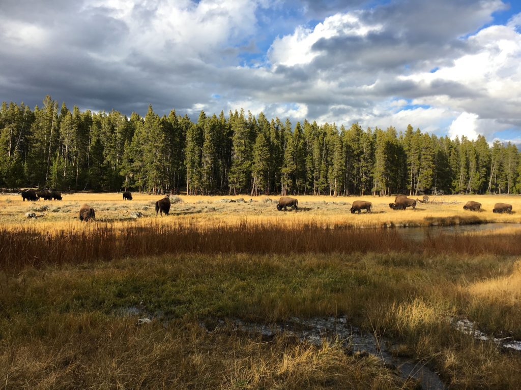 Bison in a field at Yellowstone